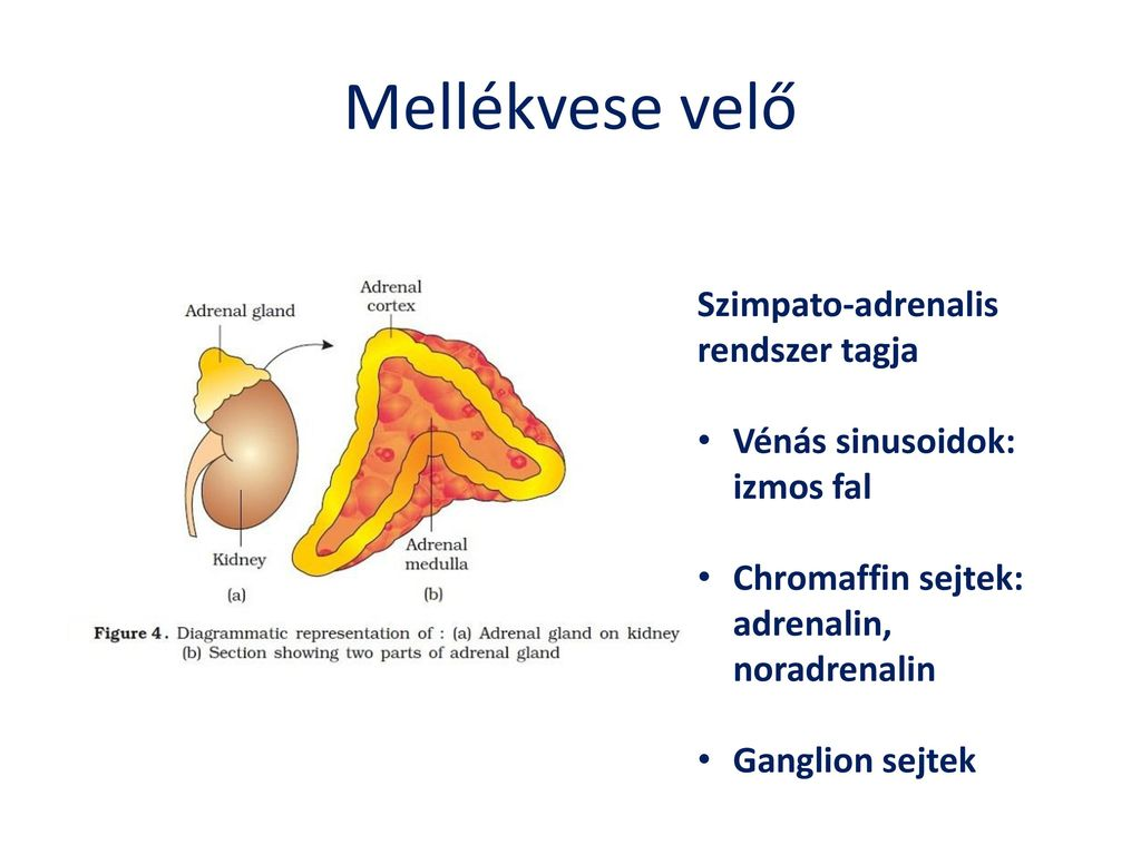 szimpato-mellékvese hipertónia
