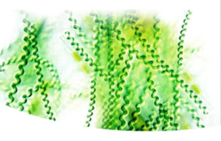 Barna alga tabletta. Moszatkúra! Hólyagmoszat, szerves jódra standardizált kivonata.