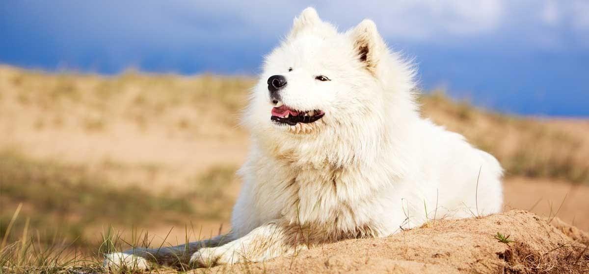 a magas vérnyomásból származó kutyafa)