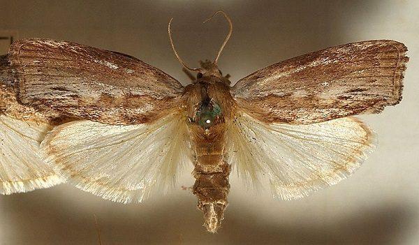 Viasz moly (méh bogáncs) - mit kezel, és hogyan kell alkalmazni a tinktúrát - Típusok November