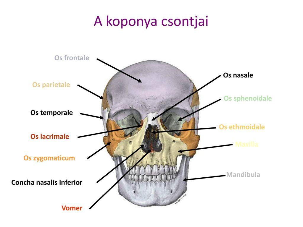 koponyacsont magas vérnyomás esetén)