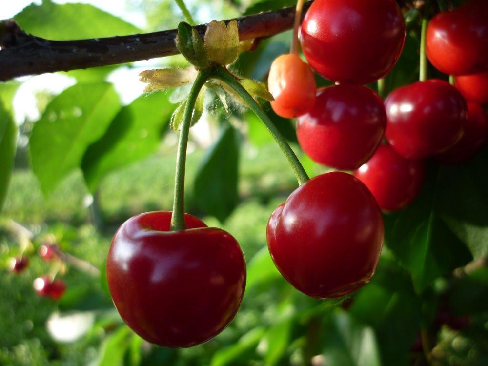 magas vérnyomású cseresznye kezelése