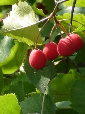 galagonya gyümölcs hipertónia)