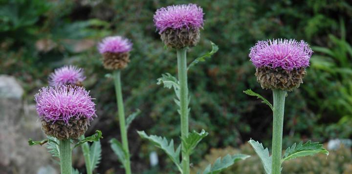 Szekliceimola (Rhapnticum chartamoides) | TermészetGyógyász Magazin