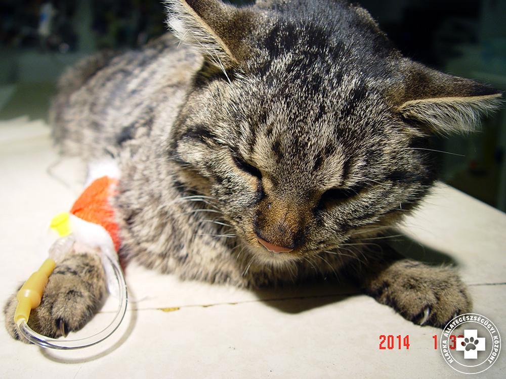 macska hipertónia kezelése IHC 1 fokozatú magas vérnyomás