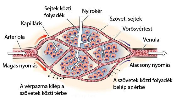 kapillárisok és magas vérnyomás)