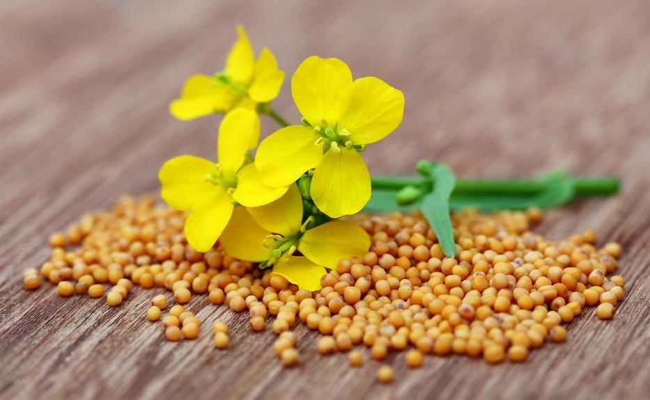 Sárga mustármag