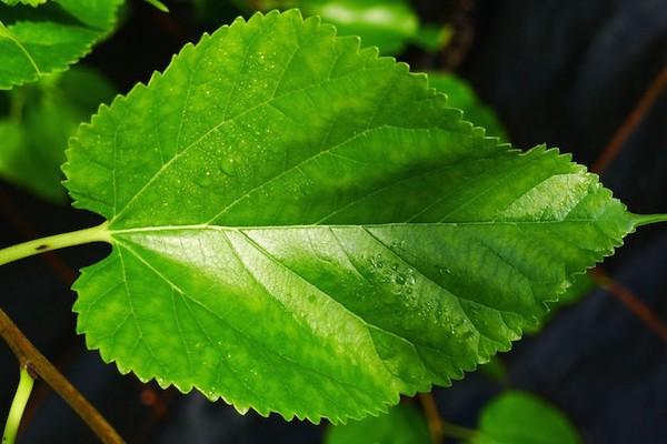 eperfa magas vérnyomás ellen
