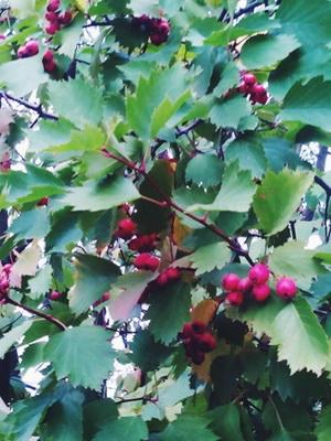 galagonya gyümölcs hipertónia