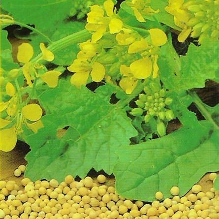 Parányi mustármagban hatalmas erő